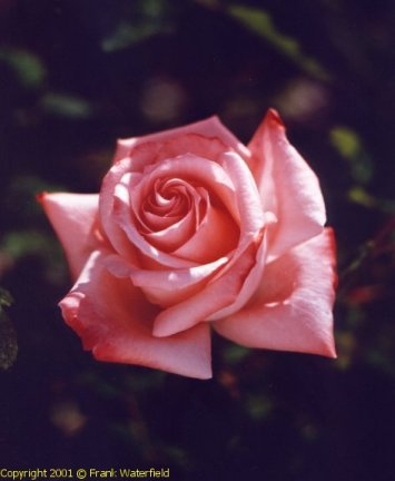 how to keep roses after they die